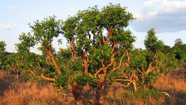 西アフリカに生えるヨヒンベは樹皮にヨヒンビンを含有している