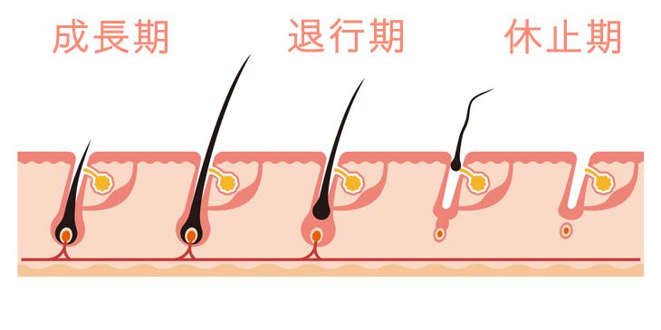 ビマプロストには毛の成長期と寿命を延ばす効果がある…?