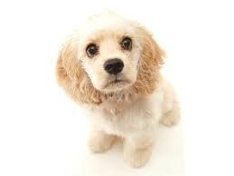 白内障になりやすい犬種