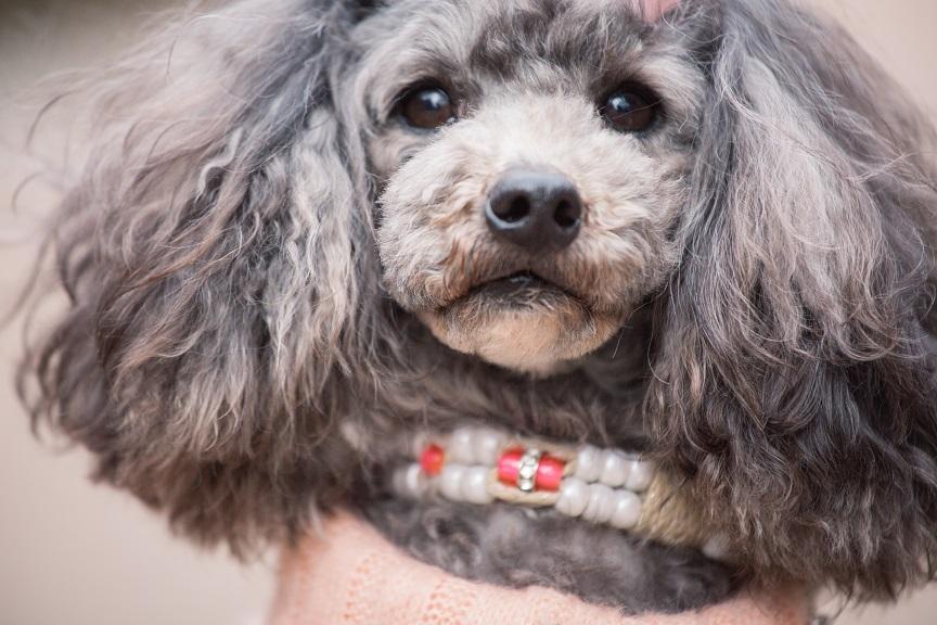目薬で犬の白内障は治せます!症状や原因を把握して予防しましょう!
