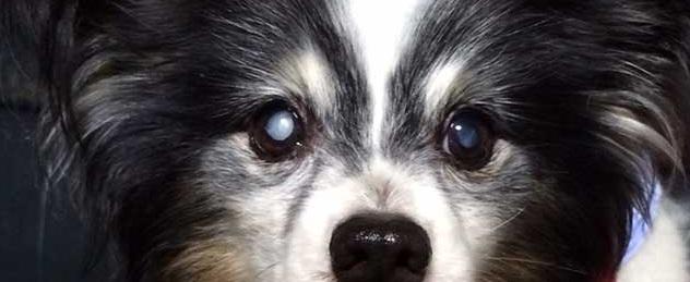 犬の白内障の症状とは?